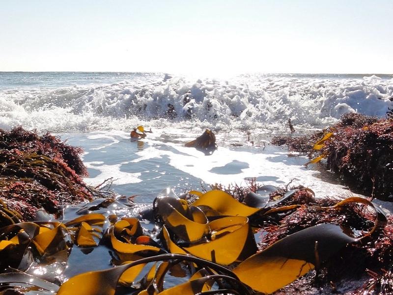 Les lundis de la mer – Les algues, sources de molécules santé ?
