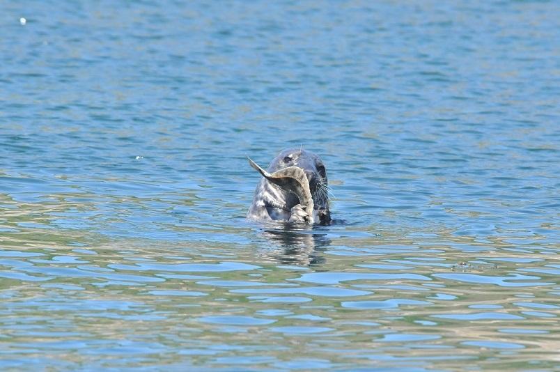 Les lundis de la mer – Interactions pêcheurs et mammifères marins en mer d'Iroise : enjeux, résultats et perspectives