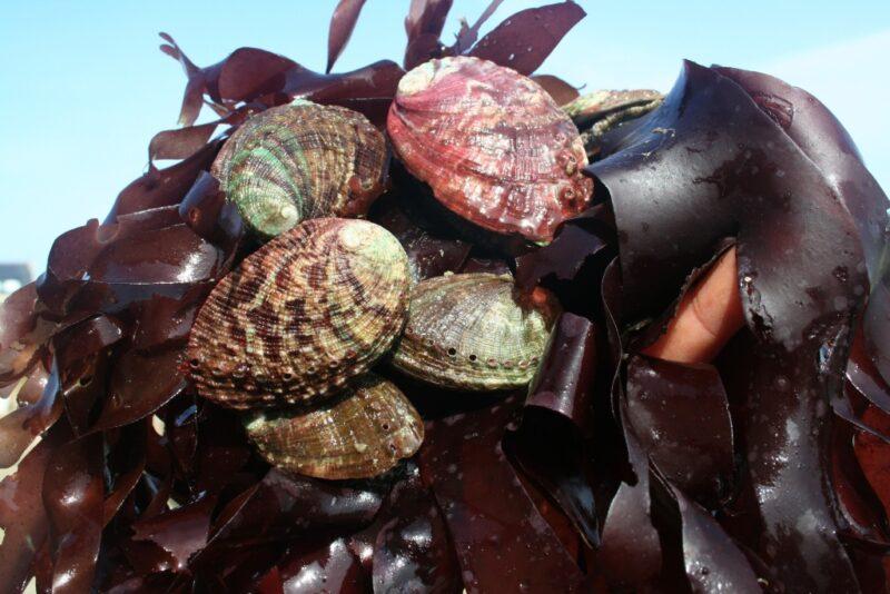 Les lundis de la mer – L'élevage d'ormeaux en Bretagne