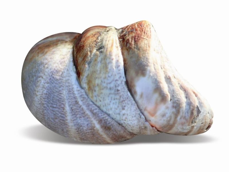 Les lundis de la mer – Première ressource de coquillage en France : le berlingot de mer