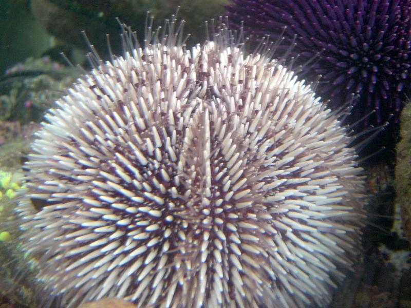 Les lundis de la mer – L'oursin contre le crabe ! Utilisation du modèle oursin pour la recherche contre le cancer