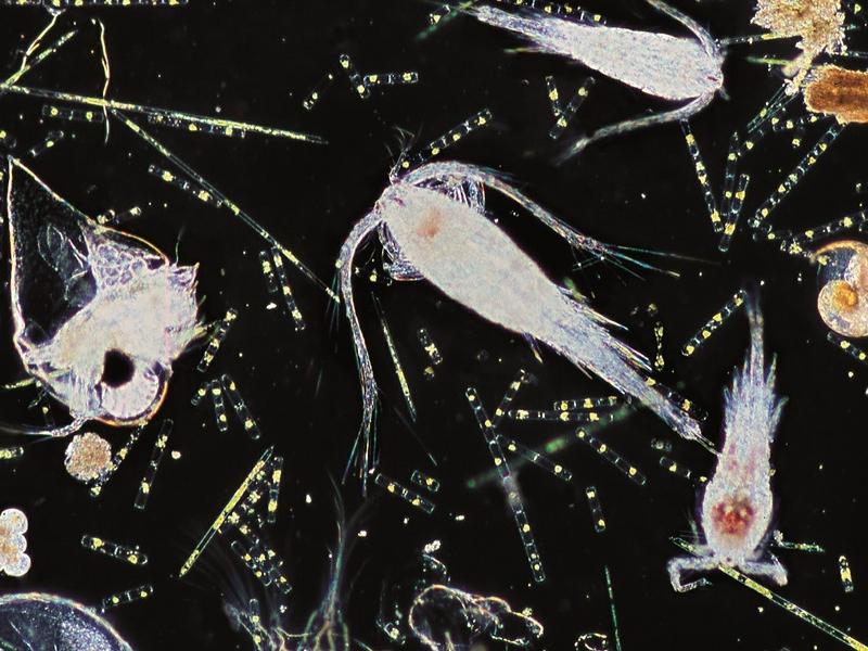 Les lundis de la mer – Plancton marin et pesticides : quels liens ?